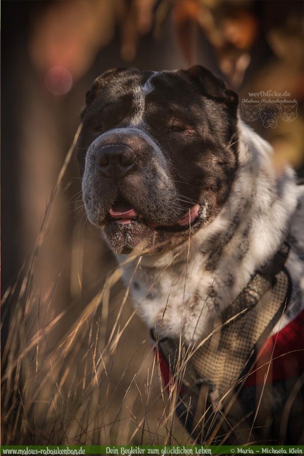 November Tagebuch 2019 Geschichten aus dem Leben Tipps-Herbst Shar Pei-Hunde Blog Haltung Haustier Rabaukenbande Erziehung Training Wandern Urlaub