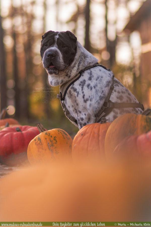 Oktober Tagebuch 2019 Geschichten aus dem Leben Tipps-Herbst Shar Pei-Hunde Blog Haltung Haustier Rabaukenbande Erziehung Training Wandern Urlaub