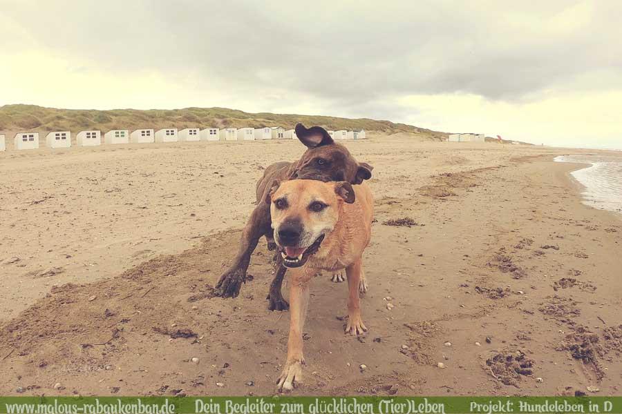 Leben im Ruhrpott NRW Molosser Lebensfreude Zweithund vom Zuechter Mehrhundehaushalt mit Huehnern-Cane Corso Huendin-Hunde Leben in Deutschland Malous Rabaukenbande Haustier Blog