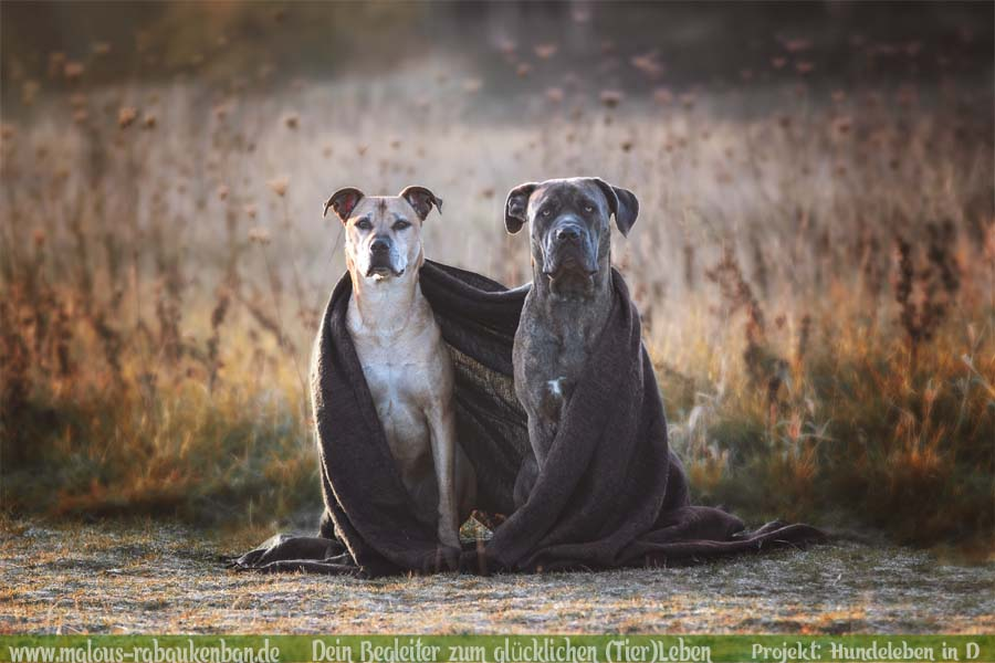 Leben im Ruhrpott NRW Molosser Lebensfreude Zweithund vom Zuechter Mehrhundehaushalt mit Huehnern-Cane Corso Portraet-Hunde Leben in Deutschland Malous Rabaukenbande Haustier Blog
