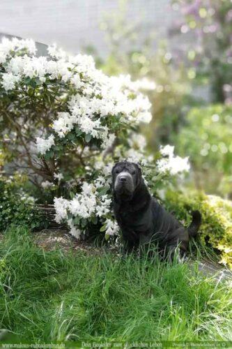 Leben mit Hund Zucht Deprivationsschaden aus schlechter Haltung Ruede Blumen-Shar Pei Leopold-Hunde Leben in Deutschland Malous Rabaukenbande Haustier Blog