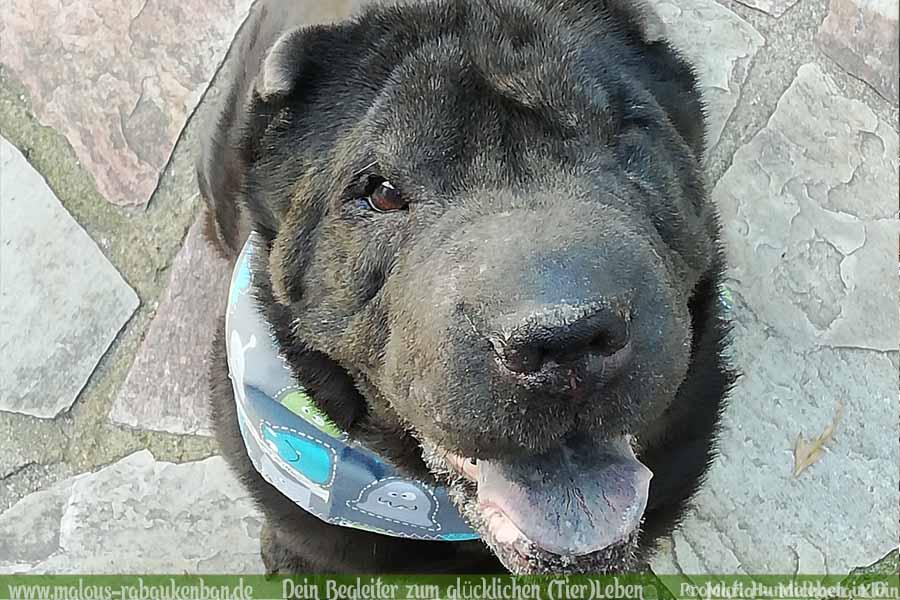 Leben mit Hund Zucht Deprivationsschaden aus schlechter Haltung Ruede Portraet-Shar Pei Leopold-Hunde Leben in Deutschland Malous Rabaukenbande Haustier Blog