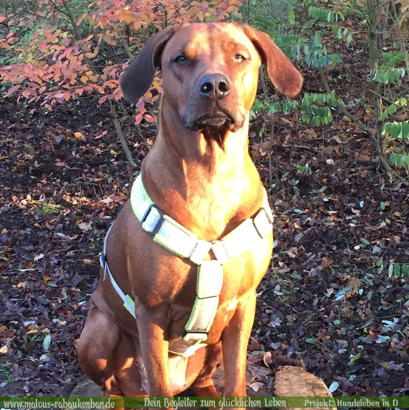 Rhodesian Ridgeback Holly