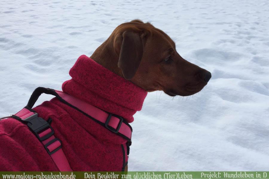 Leben eines Schulhund Buerohund Reisender Hund Berge MeerRassehund-Rhodesian Ridgeback Holly-Hunde Leben in Deutschland Malous Rabaukenbande Haustier Blog