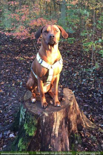 Leben eines Schulhund Buerohund Reisender Hund Berge Rassehund-Rhodesian Ridgeback Holly-Hunde Leben in Deutschland Malous Rabaukenbande Haustier Blog