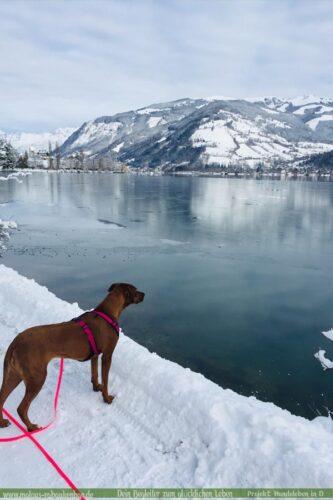 Leben eines Schulhund Buerohund Reisender Hund Berge See Schnee Rassehund-Rhodesian Ridgeback Holly-Hunde Leben in Deutschland Malous Rabaukenbande Haustier Blog