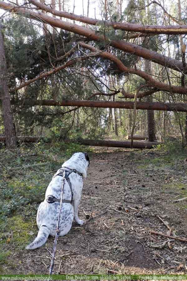 Umgefallene Bäume auf Wanderweg mit Hund