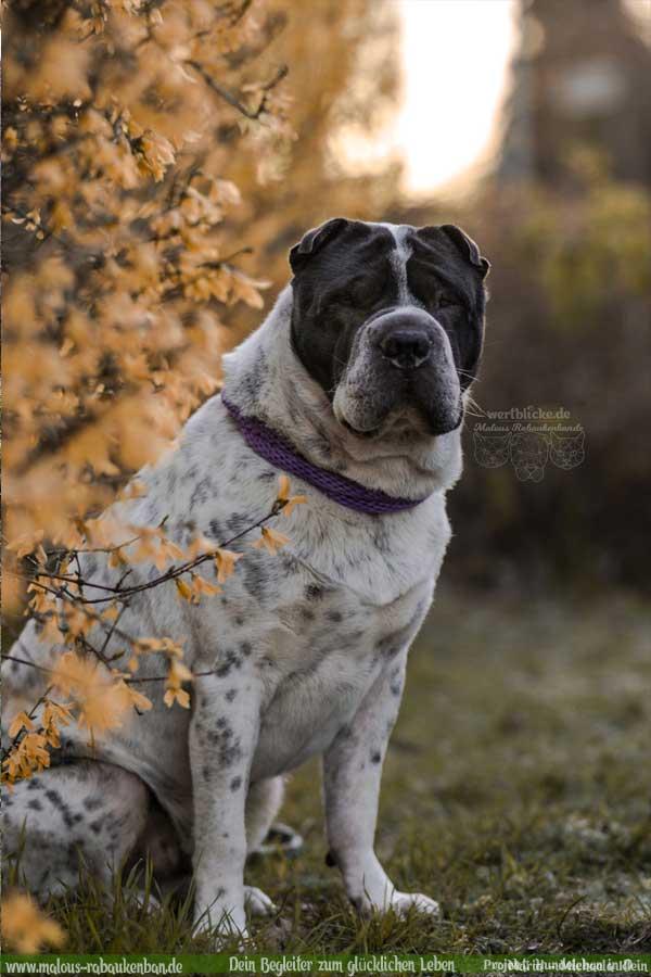 Hundeporträt in Forsythie