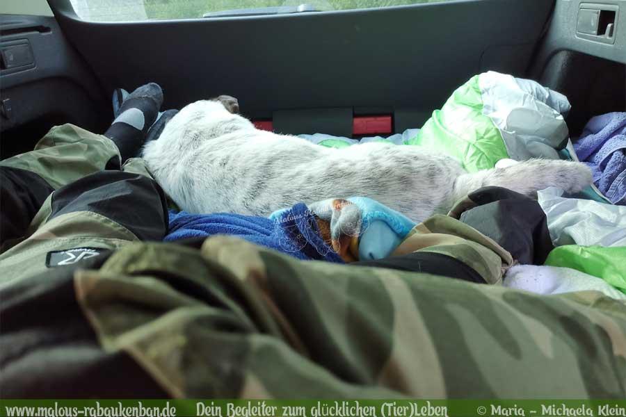 Hund schläft im Auto