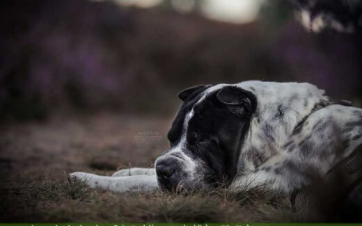 Hund schläft in der Lüneburger Heide