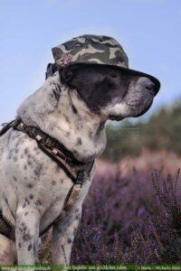 Hund mi Cap und Wanderabzeichen in der Heide