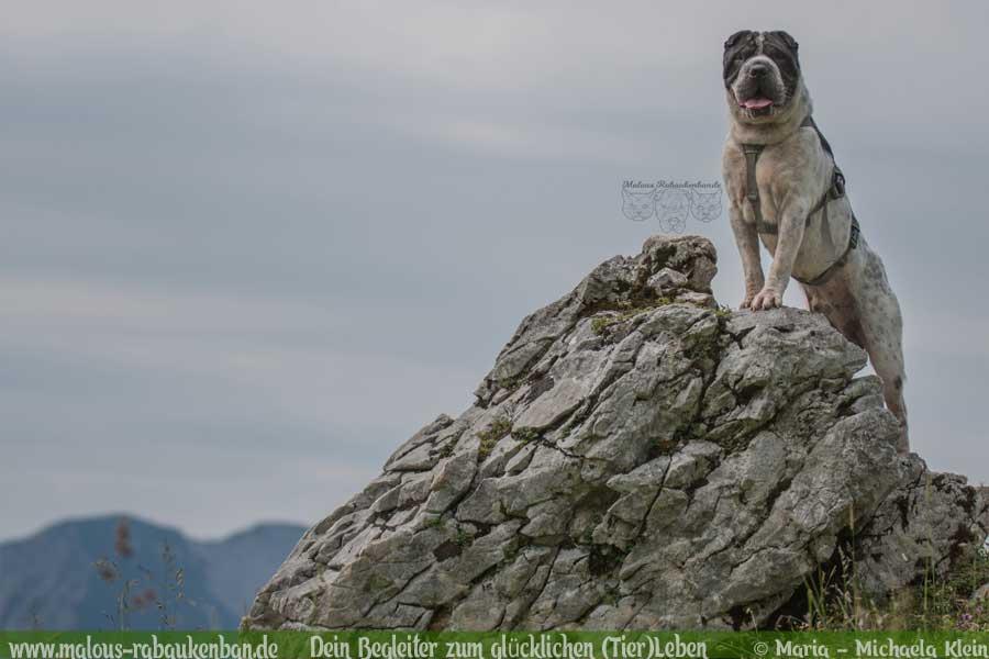 Hund auf Felsen in den Bergen