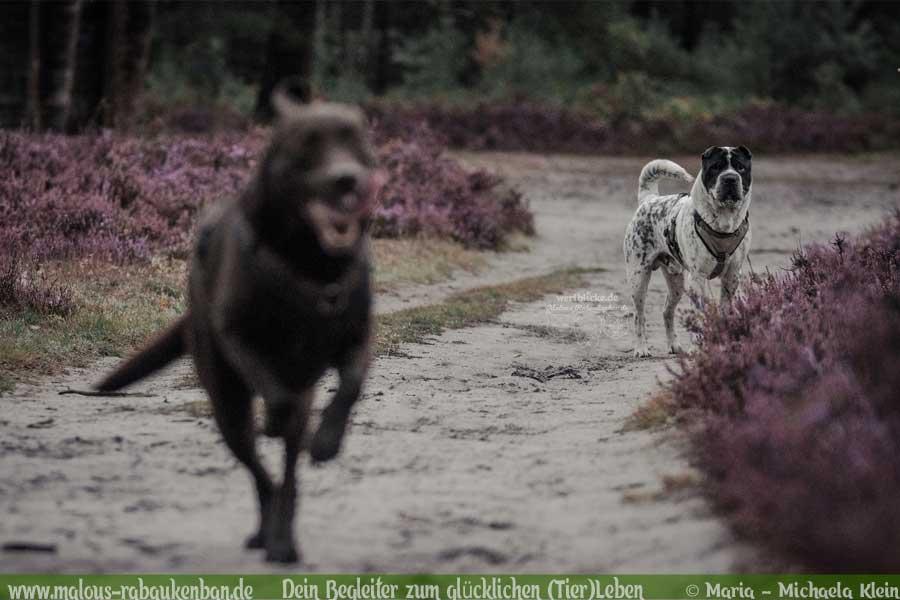 Labrador und Shar Pei beim Spielen in der Heide