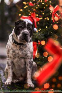 Hund mit Weihnachtsmütze neben Weihnachtstannen