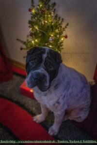 Shar Pei vor geschmückten Weihnachtsbaum