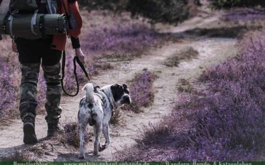 Hund wandert mit Mensch durch die Heide