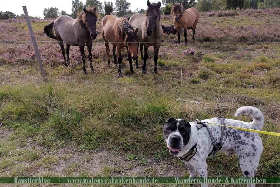 Shar Pei mit Wildpferden in der Lüneburger Heide