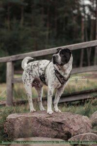 Shar Pei steht auf Stein im Bachbett beim Wandern