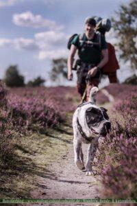 Hund wandert schnüffelnd mit Mensch durch Heide