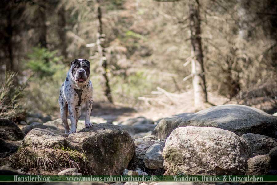 Shar Pei wandern im Harz den Brocken hoch