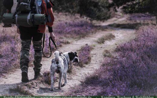 Hund wandert mit Mann in der Heide