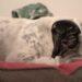 Shar Pei Hund Hundeblog Tierblog Blog Malous Rabaukenbande Auslastung Ruhe Aktivität Zeitmanagement Sport Draußen Drinnen